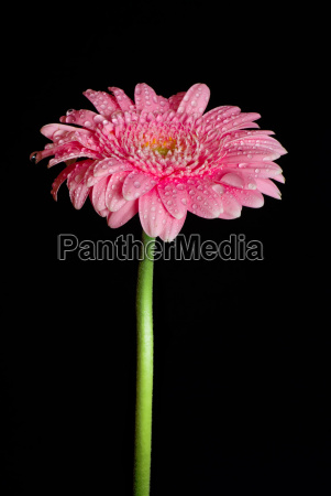 long stalked and tender the gerbera
