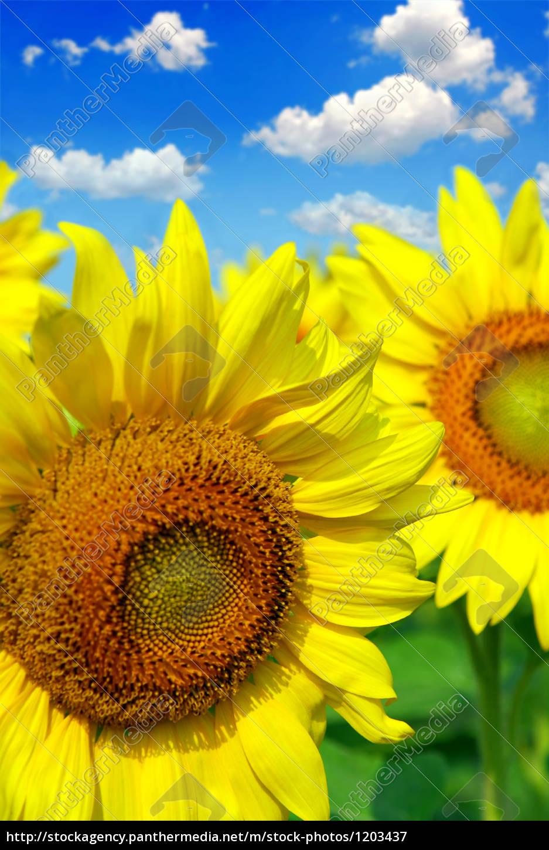 sunflower, field - 1203437