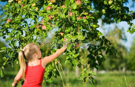 picking, apples - 1211901