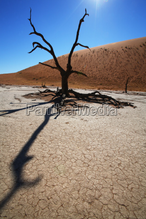 tree in the deadvlei namiba