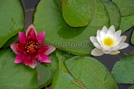two, water, lilies - 1247019