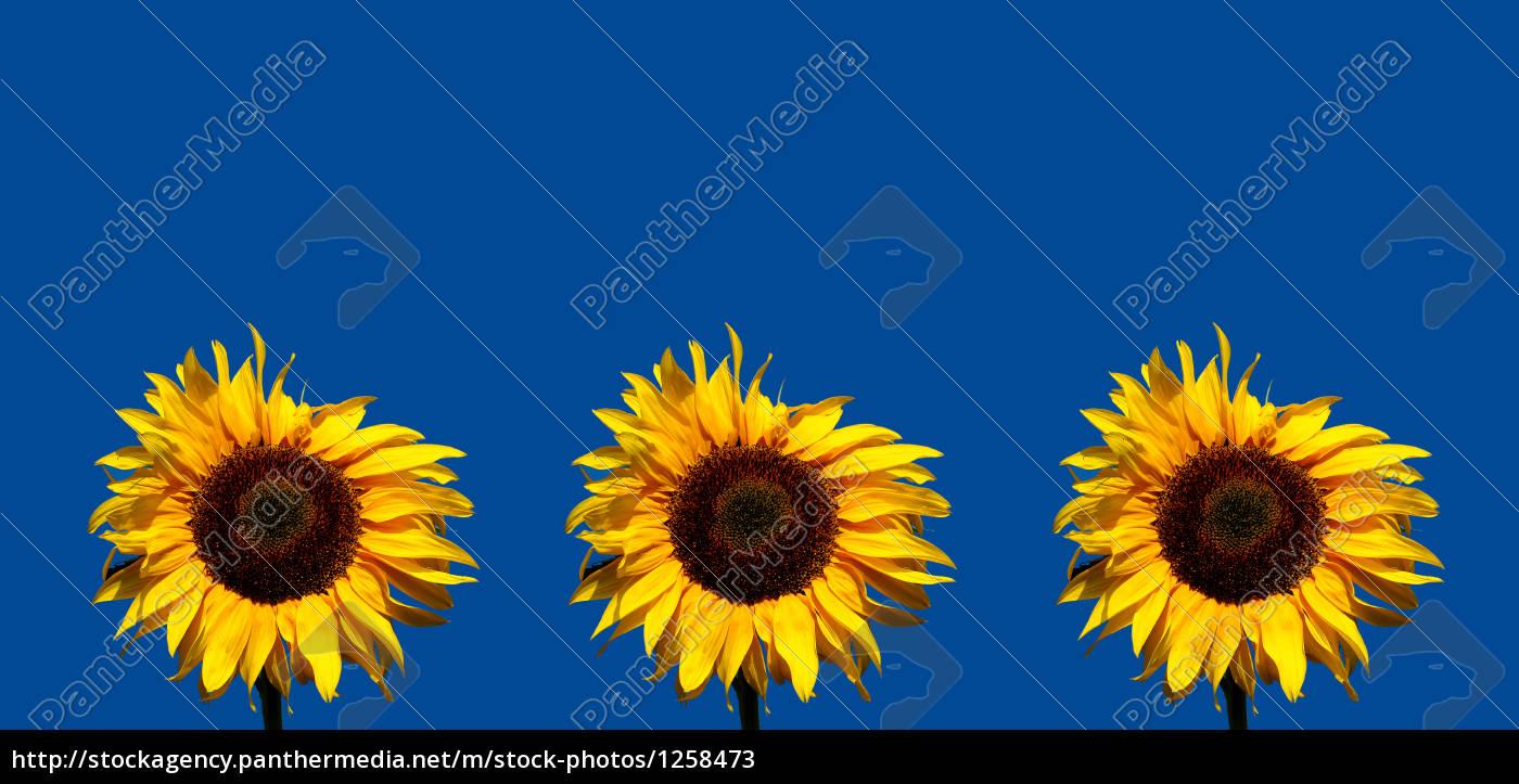 sunflowers - 1258473