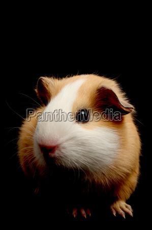 guinea pig over black