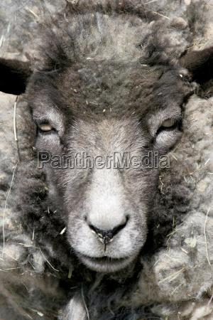 sheep, portrait - 1266339