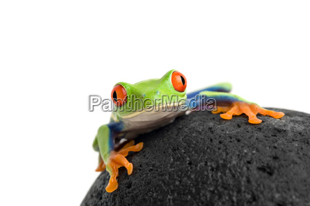 frog, on, a, rock, isolated, white - 1270189
