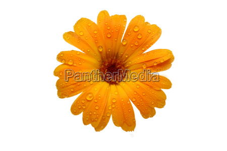 yellow, wet, gerber, daisy, over, white - 1270301
