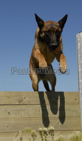 jumping malinois