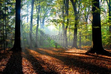 sunbeams pour into an autumn forest
