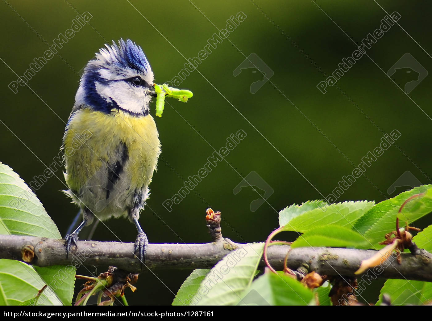 blue, tit, with, food, for, young - 1287161