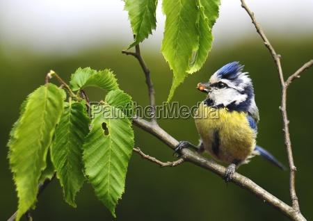 blue tit with prey