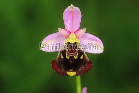 ophrys, fuciflora - 1306253