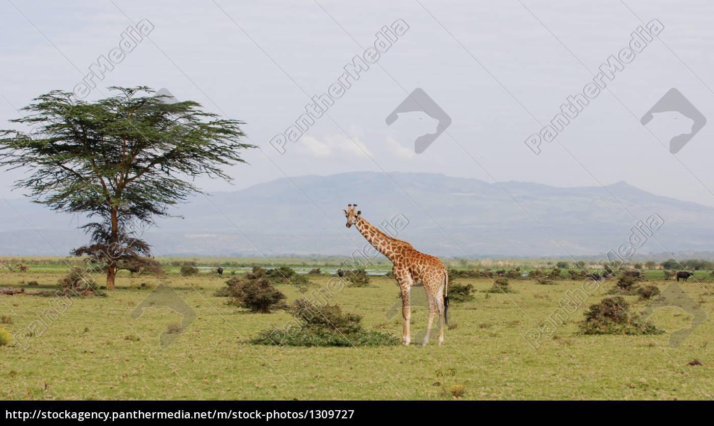 giraffe, in, african, scenery - 1309727