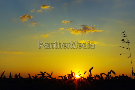 wheat, on, sunset, at, south, of - 1309283