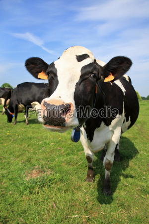 welcoming cow