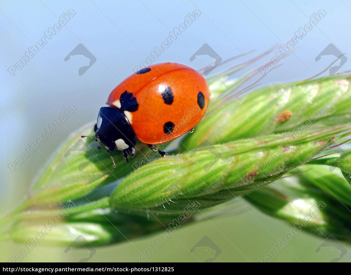 ladybird - 1312825