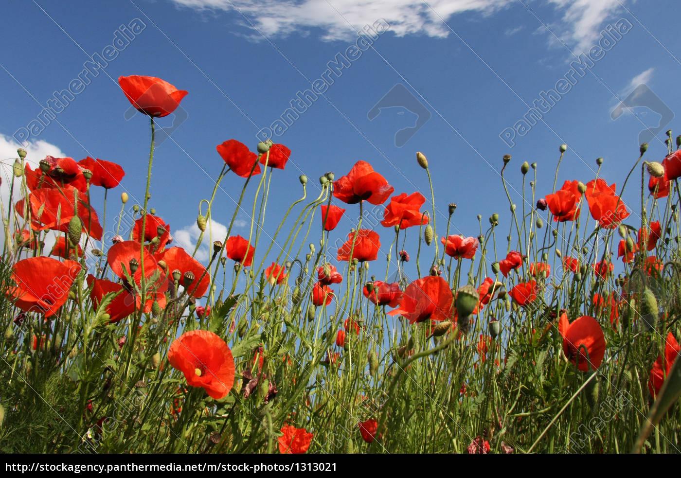 poppies, ii - 1313021