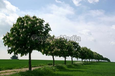 blossoming chestnut