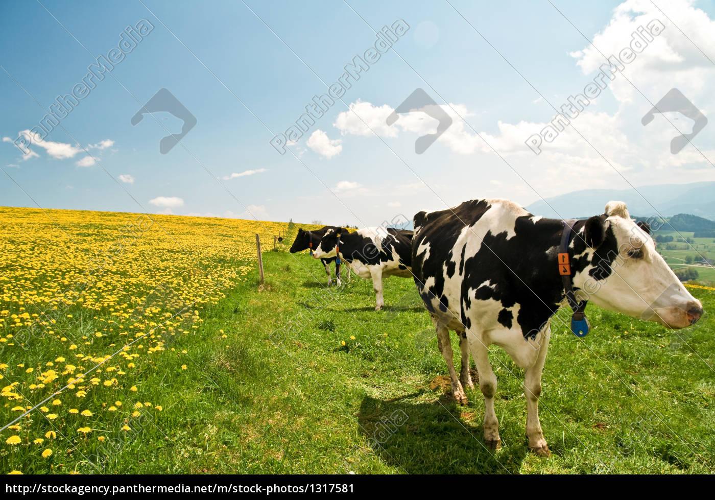 cows, 10 - 1317581