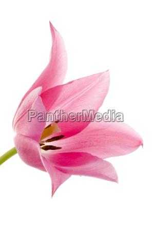 pink, tulip - 1318031
