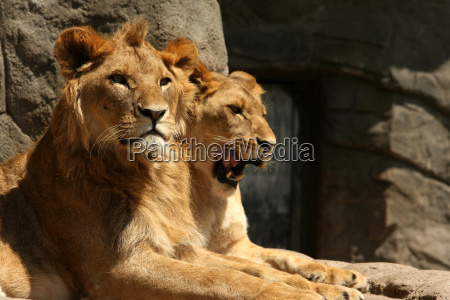 lion - 1319767