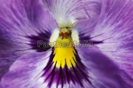 bloom, -, wild, pansy - 1320711