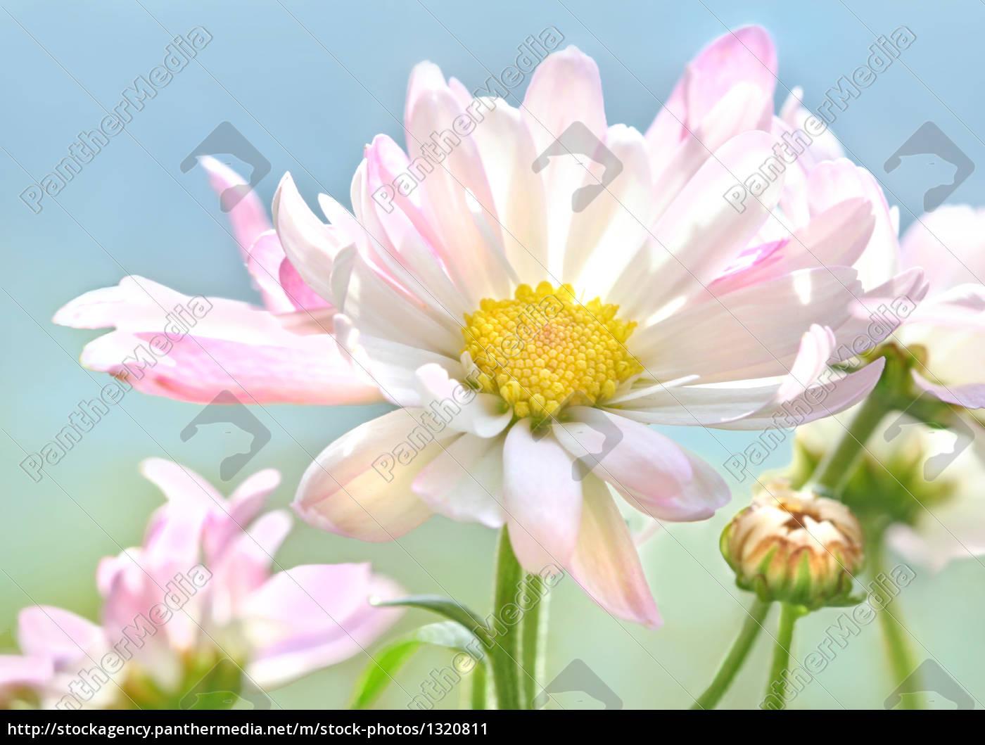 chrysanthemums - 1320811