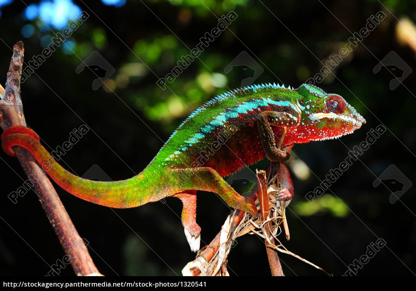 panther, chameleon - 1320541