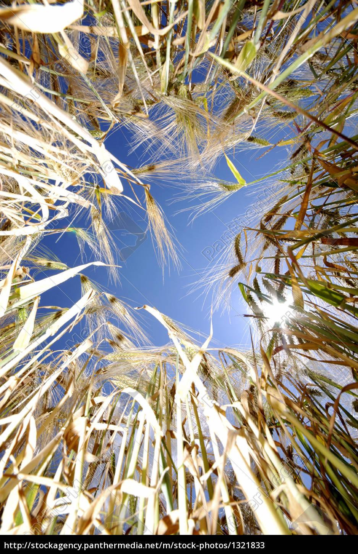 barley, field - 1321833