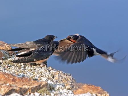 feeding in flight
