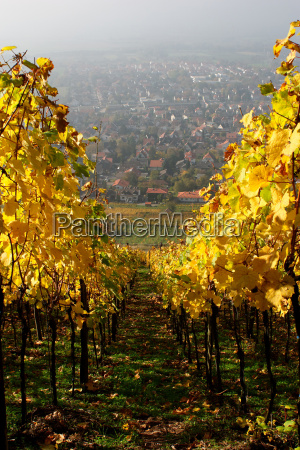 vineyard in the fall