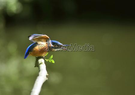 kingfisher - 1323979