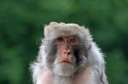 animal face monkey eyes look glancing