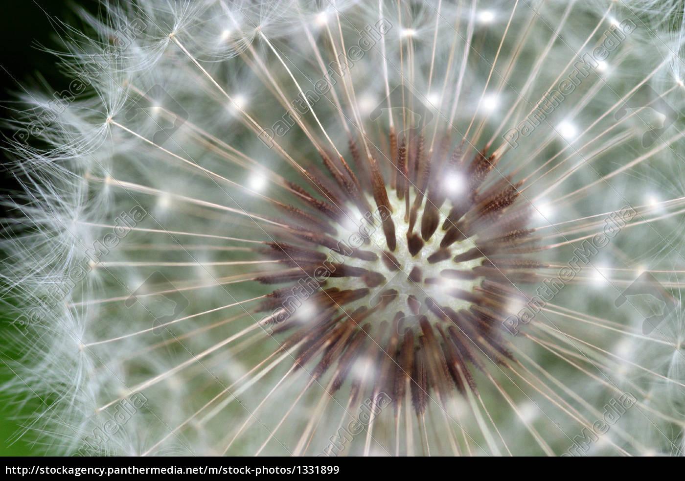 dandelion - 1331899