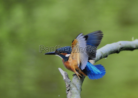 kingfisher, at, stand - 1331155
