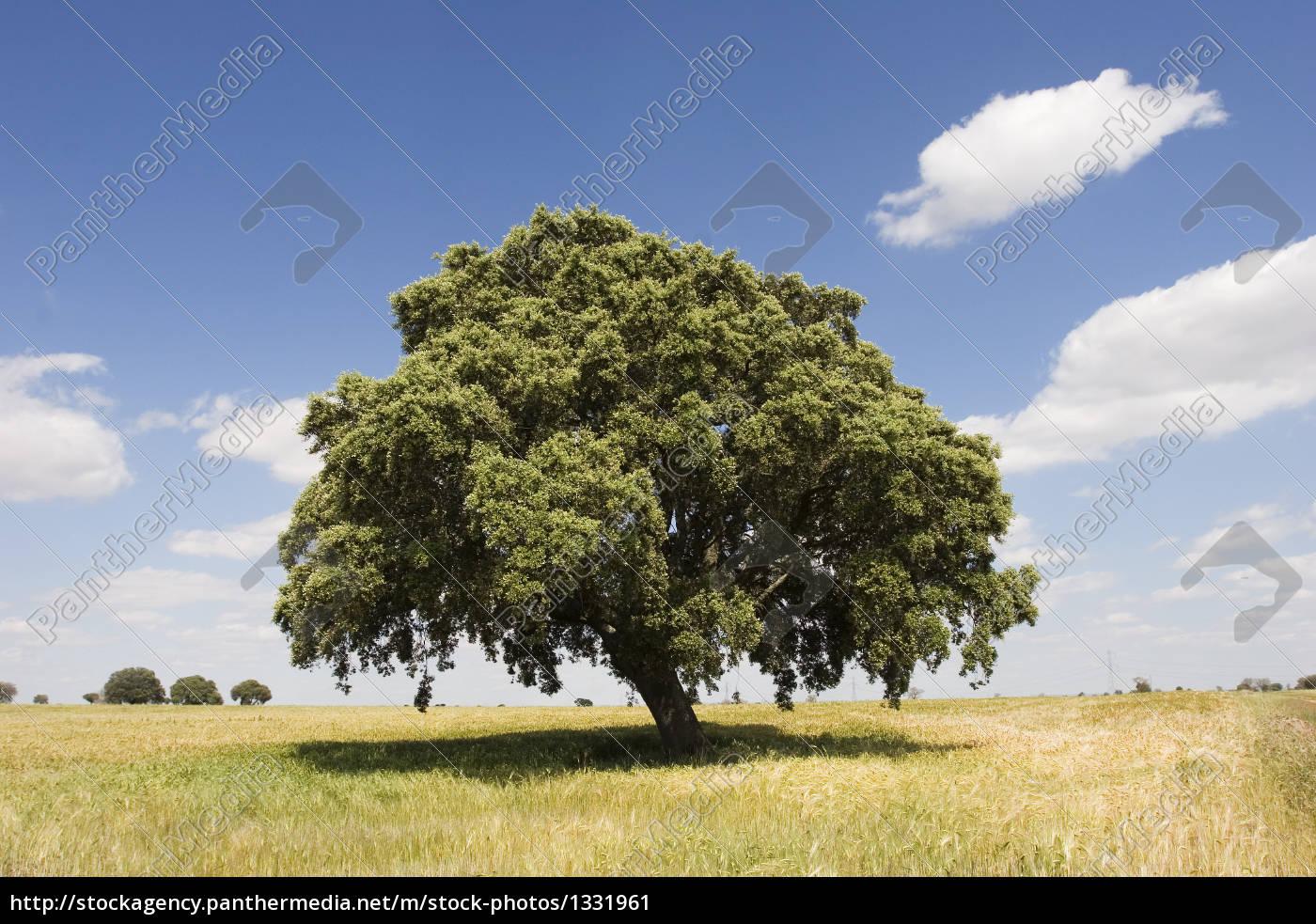 oak, tree, in, sunny, day - 1331961
