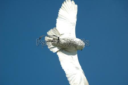 snow owl in flight