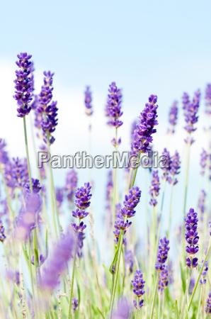 lavender, 1 - 1333391