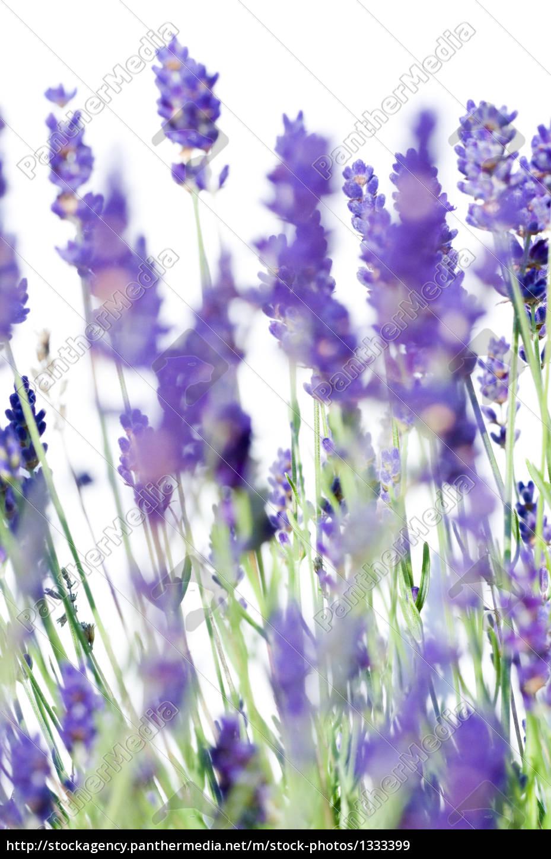 lavender, 2 - 1333399