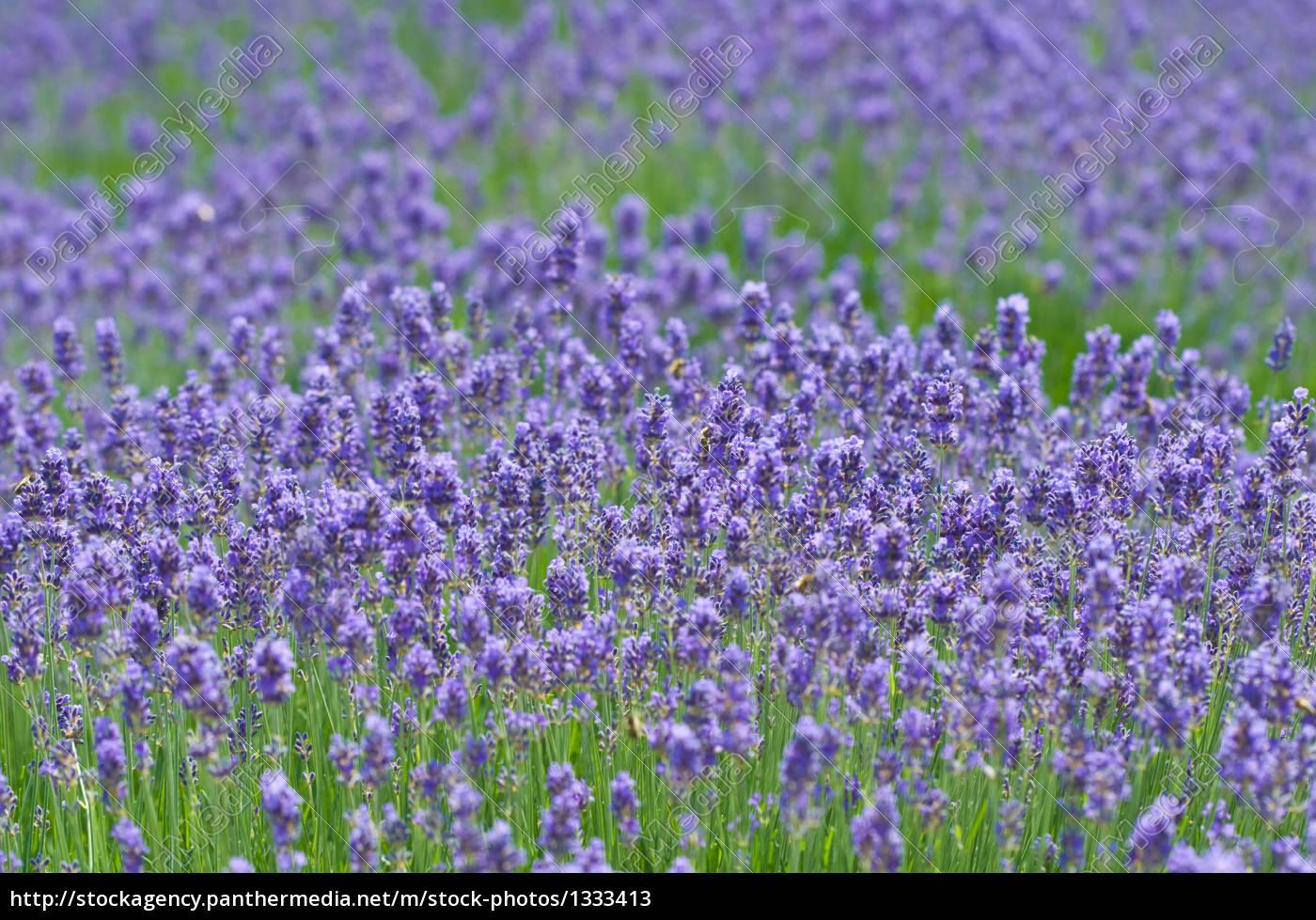 lavender, 4 - 1333413