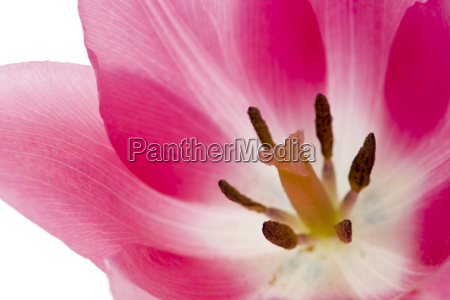 pink, tulip - 1333107