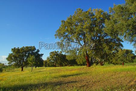 cork, oak, 03 - 1336993