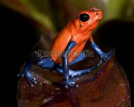 oophaga, pumilio, blue, beiner - 1336069