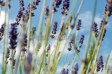 lavender, 5 - 1337499
