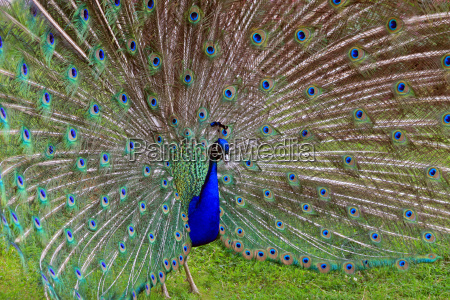 peacock with wheel