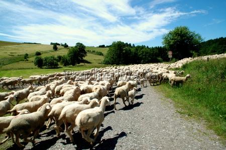 flock, of, sheep - 1340715