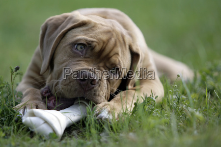 dogue, de, bordeaux, puppy - 1344431