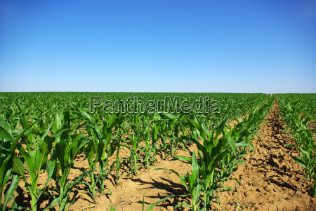 field, of, young, corn, plants, in - 1345075