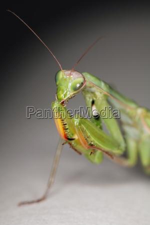 praying, mantis, religiosa - 1348703