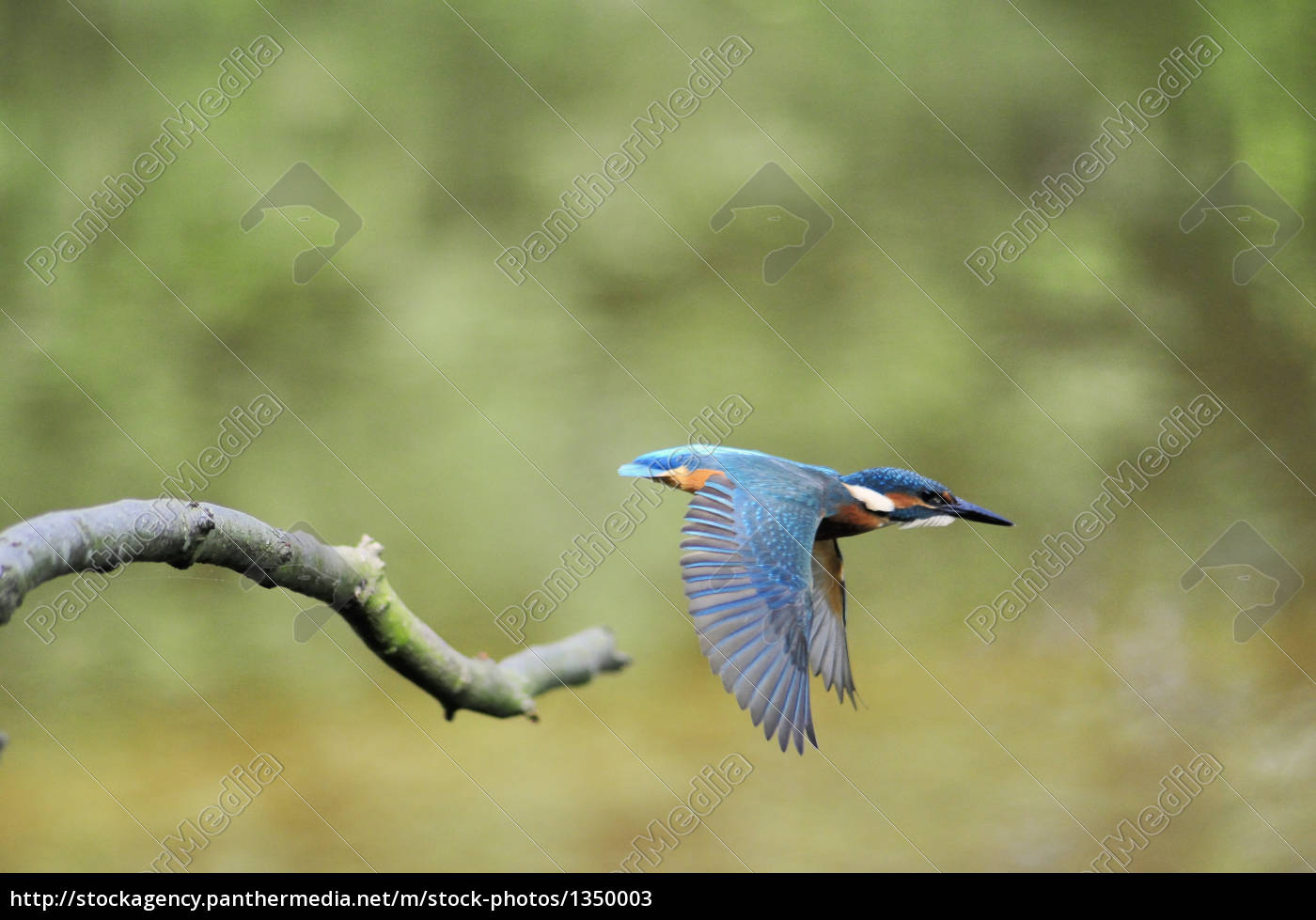 kingfisher, in, flight - 1350003