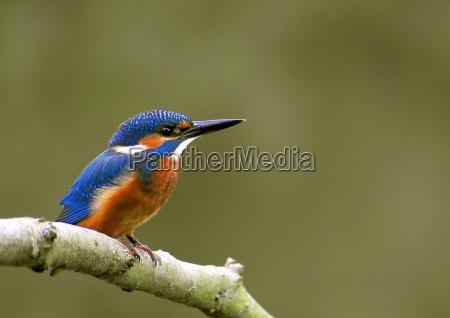 kingfisher - 1352429